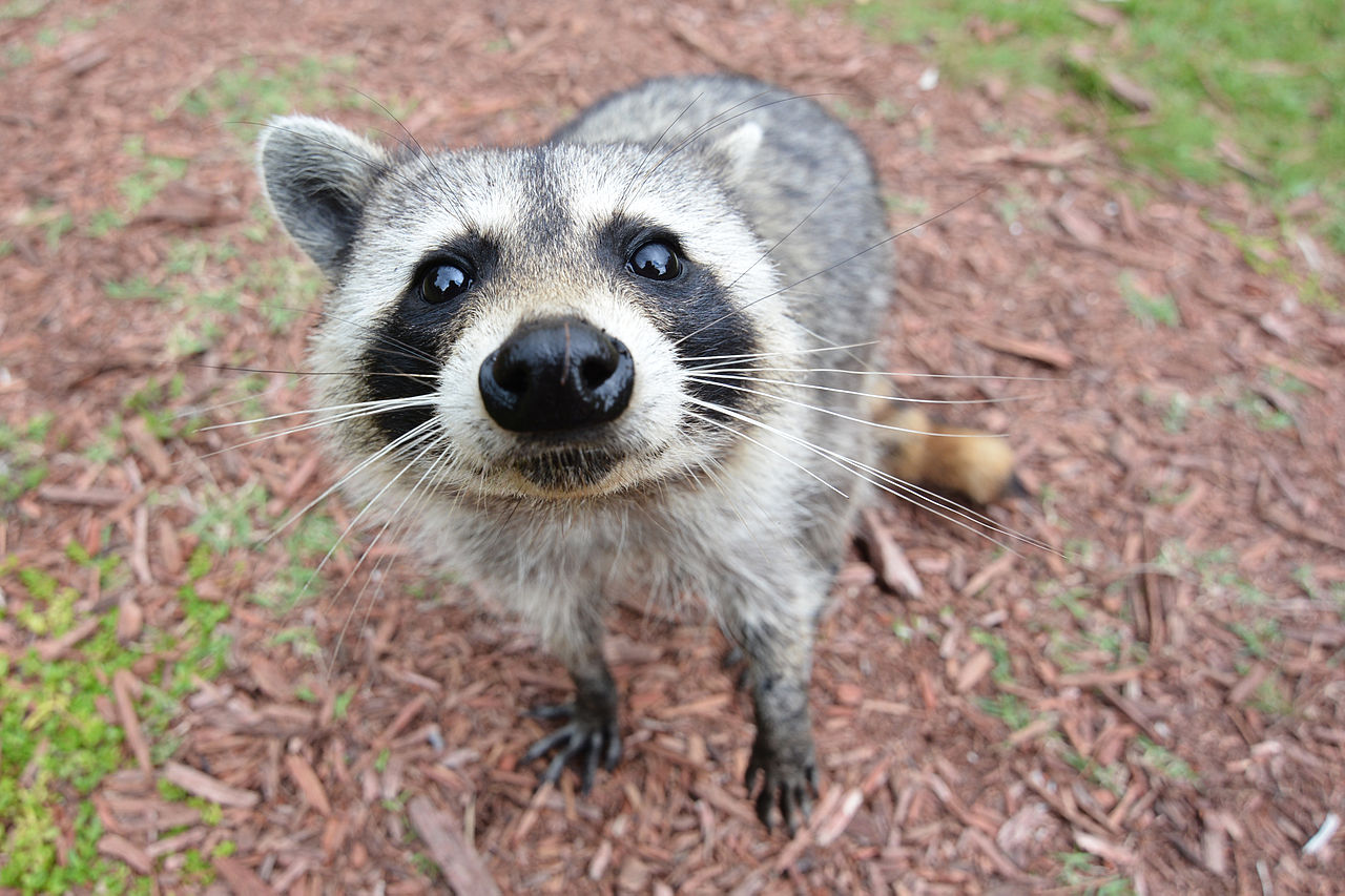 Charming If You Need Assistance With A Raccoon, Donu0027t Take Matters Into Your Own  Hands: Call Animal Services! Theyu0027re Trained To Safely Handle Raccoons And  Other ...