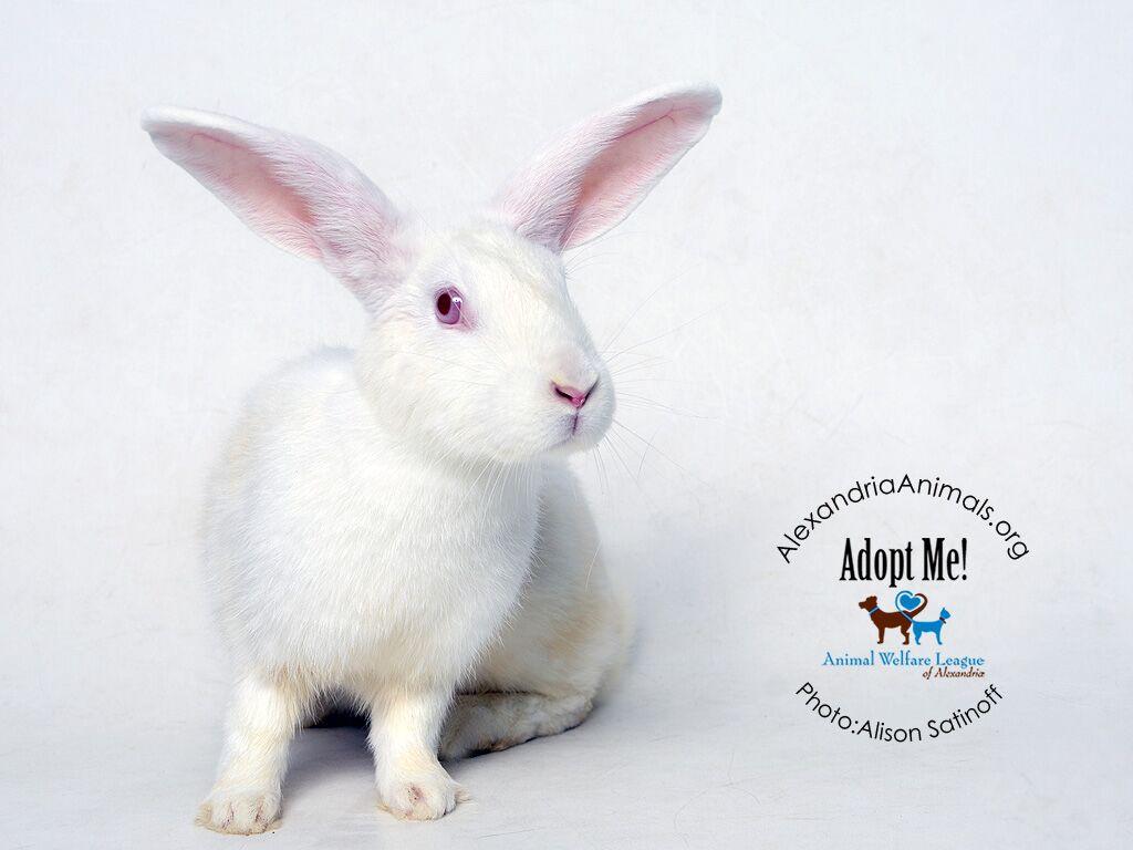 rabbit adoption fees waived through february alexandria animals