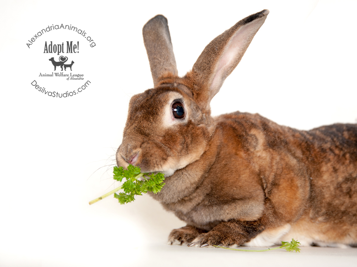 Rabbit adoption fees waived through February! - Alexandria