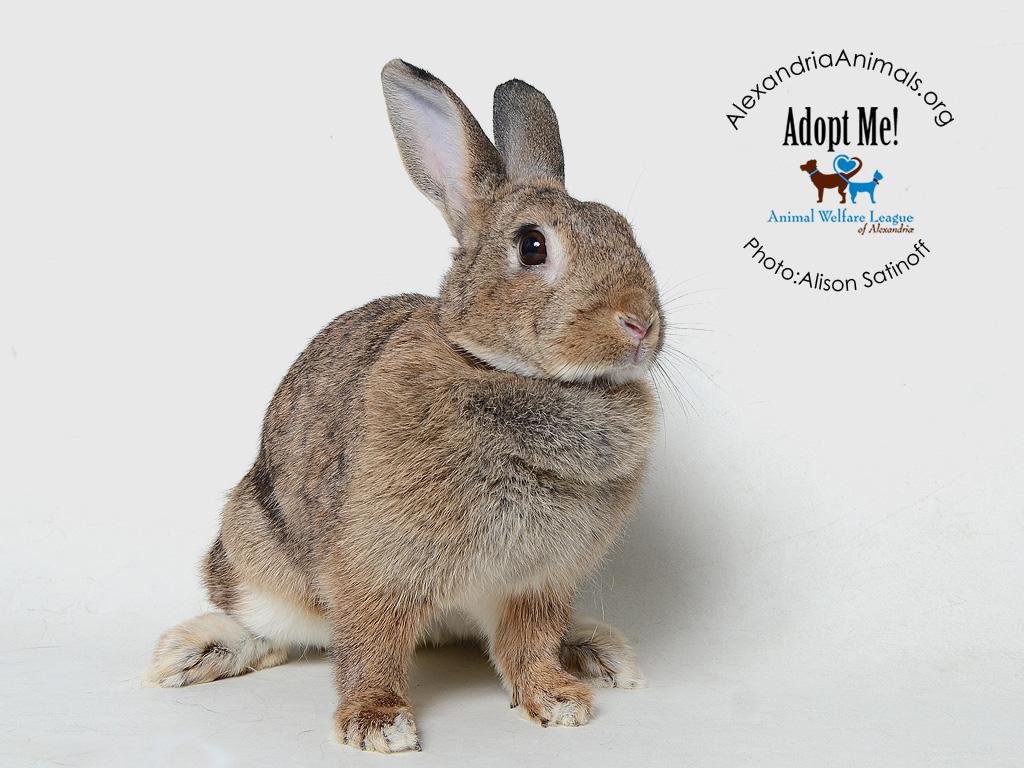rabbit adoption fees waived through february   alexandria