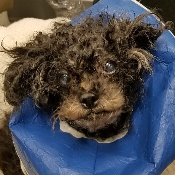 Toy Poodle Found Exhausted in Potomac River