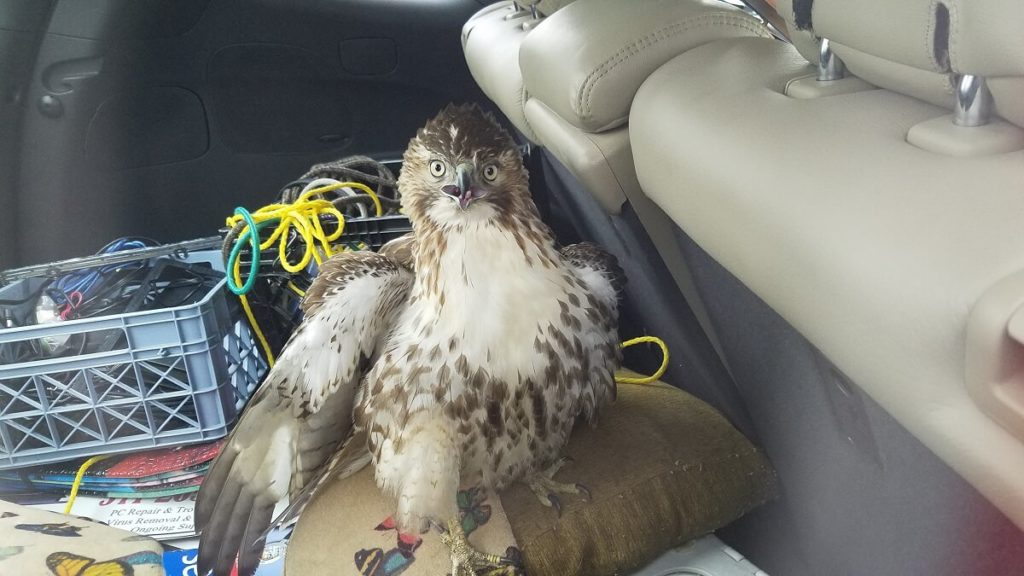 AWLA - Hawk Influx