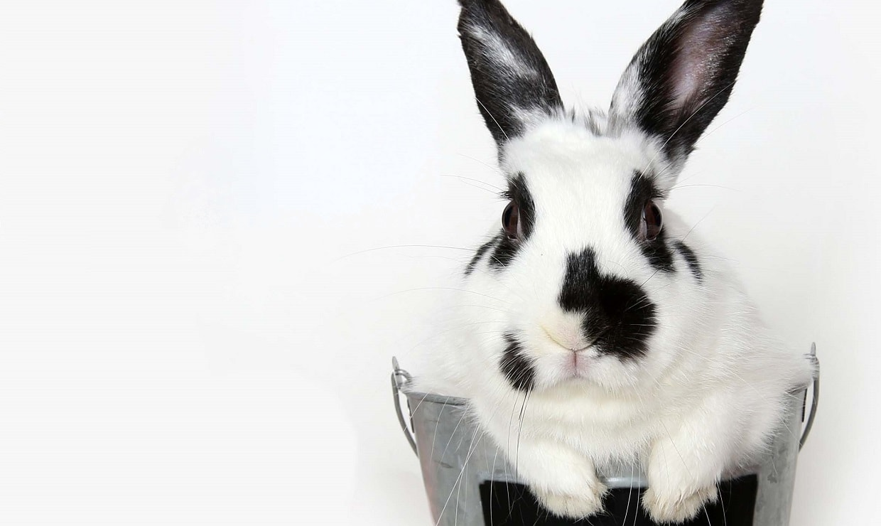Meet Flufaluff - Available for Adoption at AWLA (Rabbit)