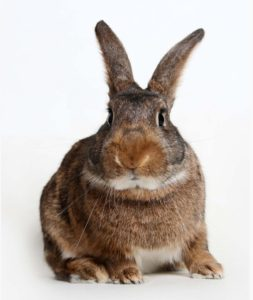 Meet Gracy - Available for Adoption at AWLA (Rabbit)