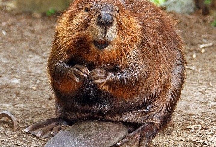 ALERT: Beaver Attacks in Ben Brenman Park