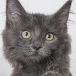 Meet Madison the Cat at AWLA